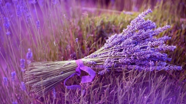 lavender-bunch-grass-field-violet